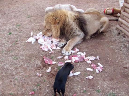 美动物园雄狮和小狗形影不离成好伙伴【6】
