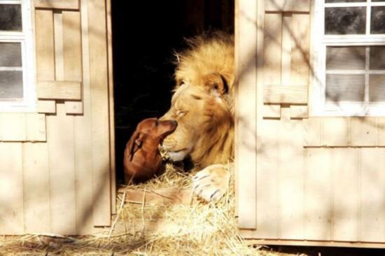 据英国《每日邮报》8月14日报道,美国俄克拉荷马州的G.W.珍奇动物公园有一对最不可能的朋友,一头轻微残疾的成年雄狮和一只8岁的达克斯猎狗从小就成为了伙伴,它们在过去的5年里几乎形影不离。   据悉,雄狮名叫刨骨爪(Bonedigger),体重500磅(约合227公斤),体长7英尺(约合2米),这使它的朋友小狗麦洛(Milo)看起来小得就像它的幼崽。据它们的护理员约翰赖因克(John Reinke)介绍,刨骨爪患有先天性的代谢性骨病,致使它轻微残疾。而约翰本人也在1994年的一场蹦极事故后被双腿截