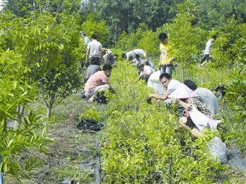 三亚绿化宝岛行动3万人免费领取树苗超12万株