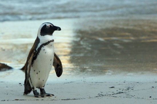 There's growing concern over the serious decline in the African Penguin population, which experts say could be extinct within the next 10 years.