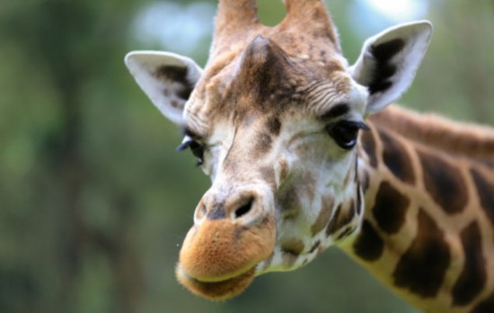 美女子翻越动物园长颈鹿馆围栏被先舔后踢