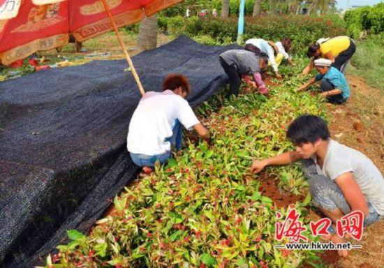 海口美兰花农抢种忙 花卉有望中秋节上市