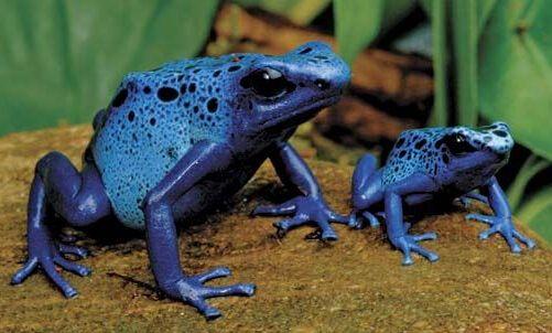 被截获南美剧毒箭毒蛙 毒液可以杀死10个成年男子【2】
