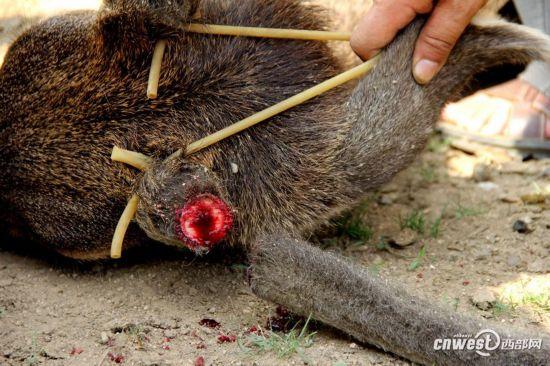 记者实拍动物园割鹿角 园方称防止顶伤其他动物