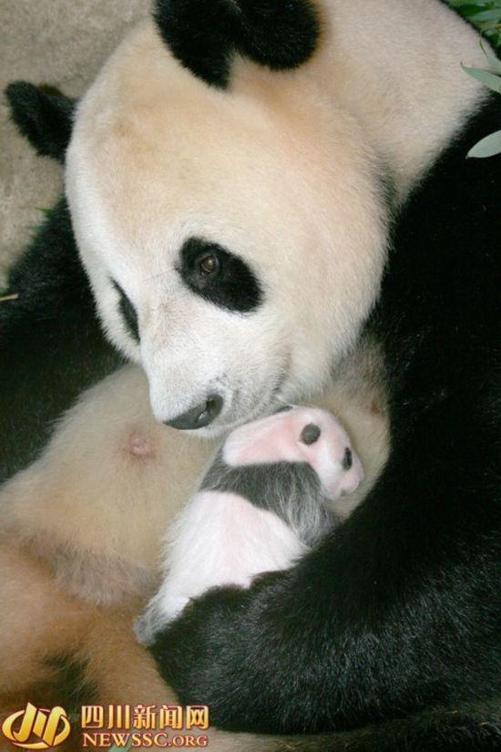 揭秘大熊猫孕育:熊猫妈妈看电视录像学习带仔