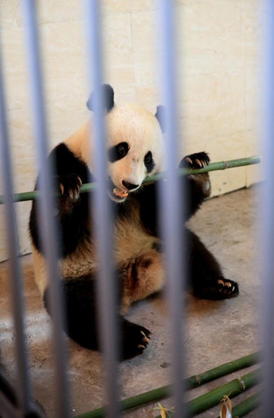 大熊猫华蓥山接受野化放归培训【4】