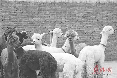 成龙最喜欢的动物羊驼