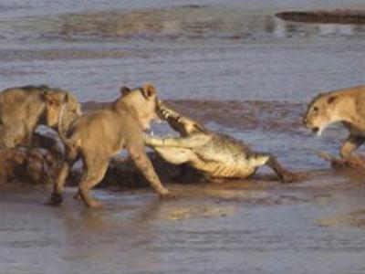 3只狮子围攻鳄鱼