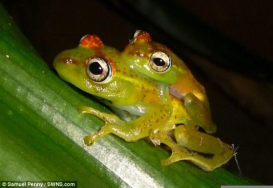 英国现新物种青蛙全身绿色头背有红斑(图)