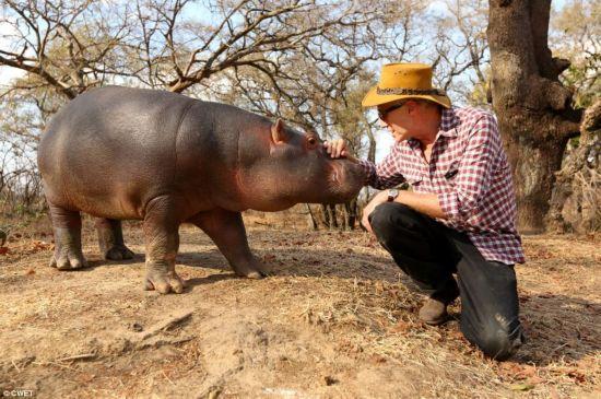 这只被遗弃在赞比亚野外的小河马获得了赞比亚野生动物教育基金会1万