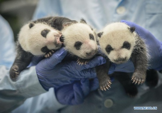 Giant panda experts conduct a health test for newborn giant panda triplets who have just turned 31 days old at the Chimelong Safari Park in Guangzhou, capital of south China's Guangdong Province, Aug. 28, 2014. A rare set of giant panda triplets which were born at Guangzhou's Chimelong Safari Park between 0:55 and 4:50 a.m. on July 29 turned one month old on Thursday, thus becoming the world's first panda triplets to survive. Their mum, Ju Xiao, is a female giant panda from Wolong, a major giant panda habitat in southwest China's Sichuan Province. Since birth, the triplet cubs, two males and a female, have been in good health condition under the care of giant panda experts and professionals. Meanwhile, the Chimelong Safari Park has launched an event to collect name options globally for the newborn giant panda triplets. (Xinhua/Liu Dawei)