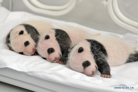Three newborn giant panda triplets rest in an incubator at the Chimelong Safari Park in Guangzhou, capital of south China's Guangdong Province, Aug. 22, 2014, the 25th day after their birth. A rare set of giant panda triplets which were born at Guangzhou's Chimelong Safari Park between 0:55 and 4:50 a.m. on July 29 turned one month old on Thursday, thus becoming the world's first panda triplets to survive. Their mum, Ju Xiao, is a female giant panda from Wolong, a major giant panda habitat in southwest China's Sichuan Province. Since birth, the triplet cubs, two males and a female, have been in good health condition under the care of giant panda experts and professionals. Meanwhile, the Chimelong Safari Park has launched an event to collect name options globally for the newborn giant panda triplets. (Xinhua/Chimelong Safari Park)