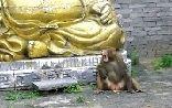 """美猴王""""现身古庙。偷吃玉米、贡果还伤人"""