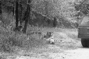 八达岭动物园员工被三只老虎撕咬致死(图)