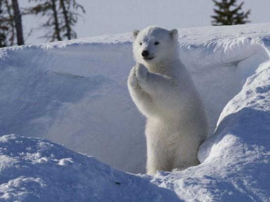 加拿大公园北极熊宝宝拱手作揖萌翻观众(高清组图)