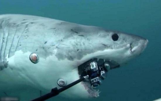 摄影师拍摄海底美景 相机被大白鲨一口咬掉(图)