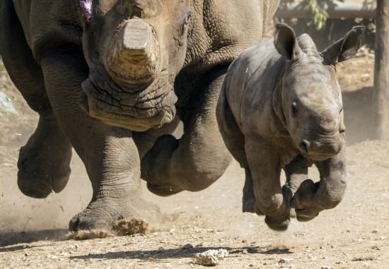 犀牛的母子情缘