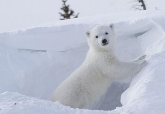 高清:加拿大公园北极熊宝宝拱手作揖萌翻观众【3】