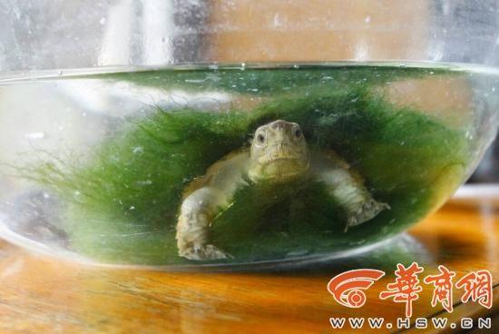 雪碧养乌龟-西安有个养龟达人 实验6年终于孵出小龟