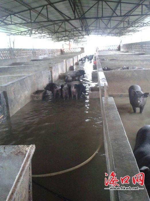 """海口:海鸥袭来养猪场被淹 三百头猪水里""""游"""""""