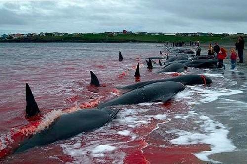 """日本捕杀海豚季开始反诉动物保护团体""""干扰"""""""