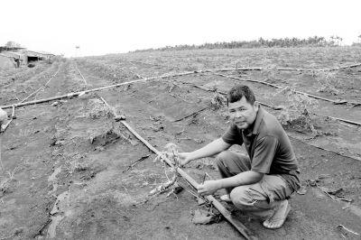 170亩木瓜苗被台风刮坏 澄迈种植户损失70万