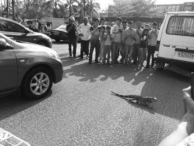 """蜥蜴街头""""遛弯""""引围观致海口一路段交通堵塞"""