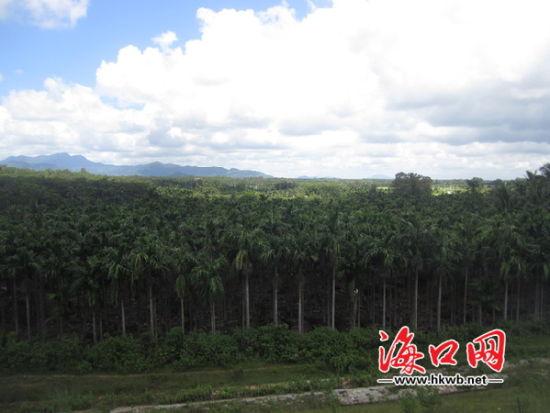 槟榔是海南省第二大热带经济作物。
