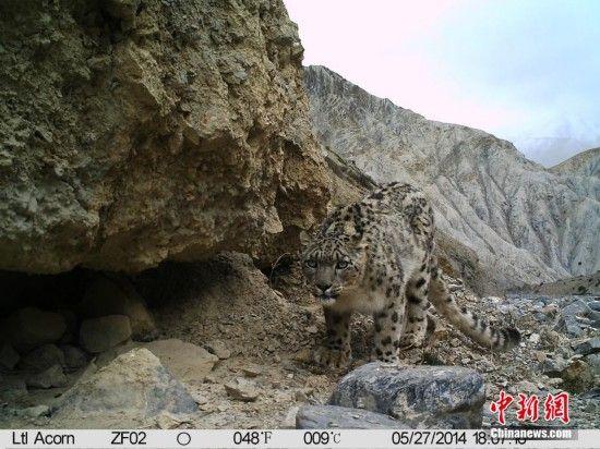 珠峰保护区拍到雪豹野外活动照