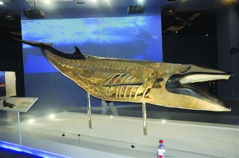 大型海洋动物标本给游客带来视觉震撼