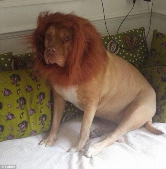 组图:奇葩主人为爱犬设计造型 瞬间变身丛林之王