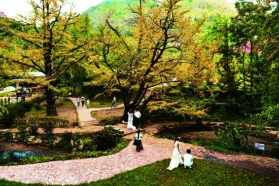 妥乐古银杏风景区内许多银杏树叶片开始泛黄