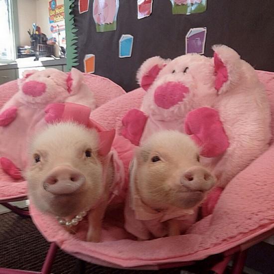 最可爱小香猪图片