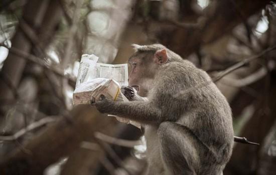 """印度猕猴看报纸 """"研读""""股市行情表情震惊(组图)"""