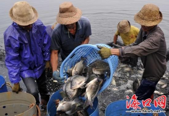 台风后海口恢复渔业生产 罗非鱼丰产32000斤