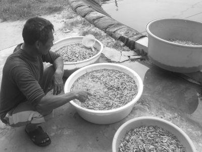 海口一养殖户近3000斤虾一夜全死了(图)