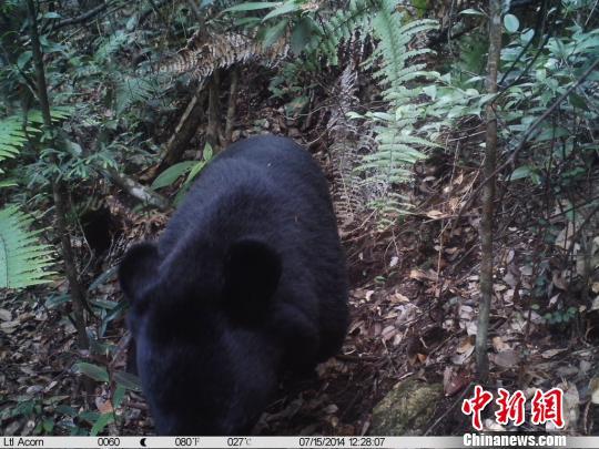 广东首次拍摄到野生黑熊踪迹好奇熊伸爪摸相机