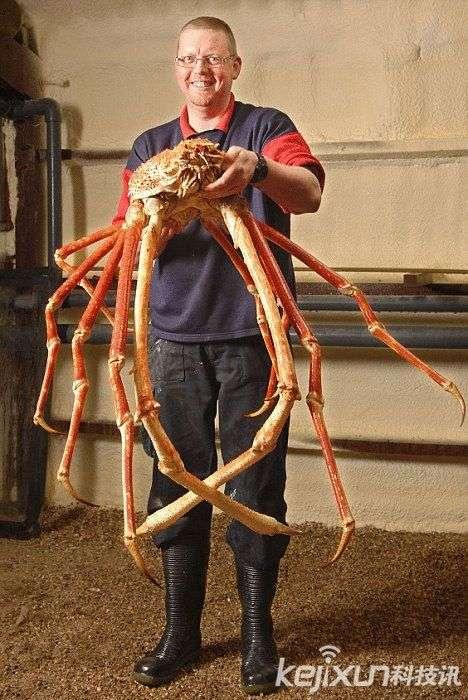 巨型杀人蟹蜘蛛蟹形似蜘蛛 疯狂攻击日本渔民