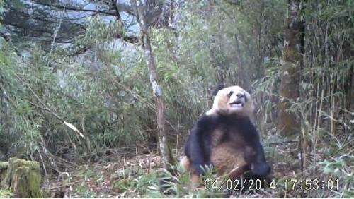 淫荡�y��yl#�+_凉山拍到野生熊猫珍贵罕见视频 吃完竹子思\