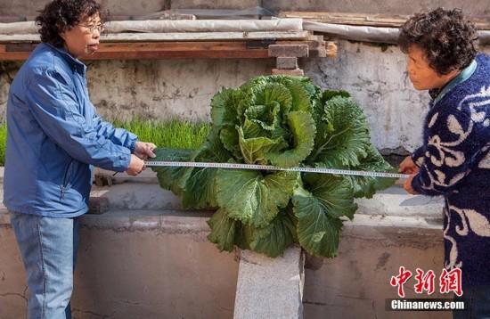 长春一小区水泥缝长出巨无霸白菜 直径一米