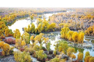 深秋时节,新疆塔里木野生胡杨林景色优美.-塔里木野生胡杨林景色