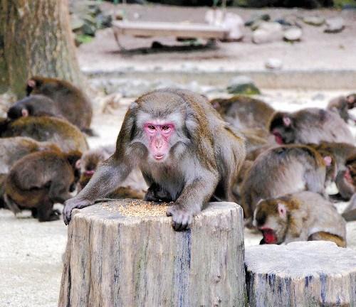 """日本一母猴博取公猴信任""""上位""""被指学过处事术"""