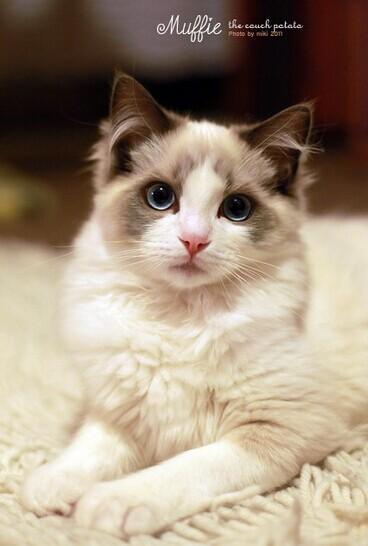 宠物界中的美人——布偶猫