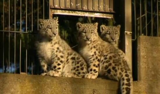 珍稀物种雪豹四胞胎在芬兰动物园首次公开亮相(图)