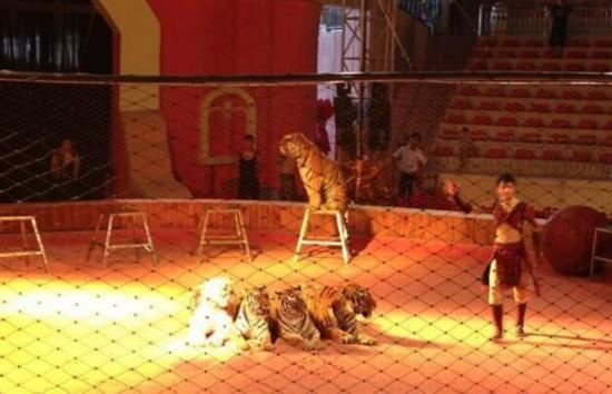 马戏团老虎咬死8岁女孩 双方就善后初步达成协议