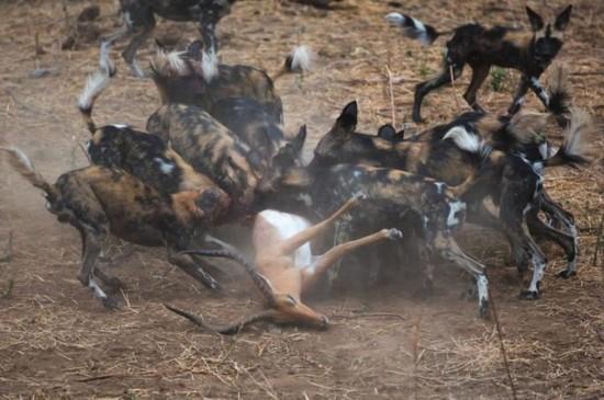 晚餐争夺战:野狗VS土狼群