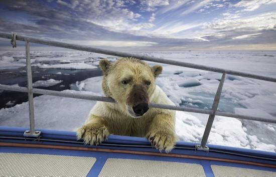 北极熊被拍到分食海象场景 满身血迹欲登船(图)