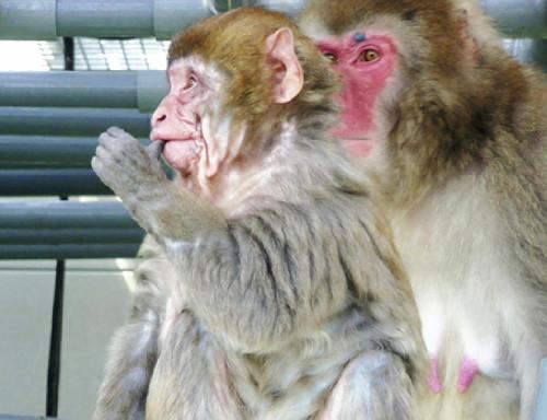 日本一猴子未老先衰仅8个月大便满脸皱纹(图)