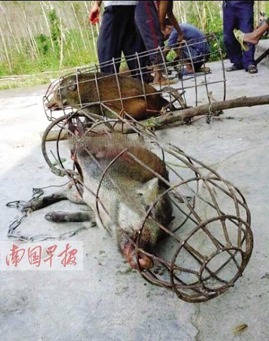 庄稼被野猪给拱了 村民组狩猎队猎捕卖给当地饭店