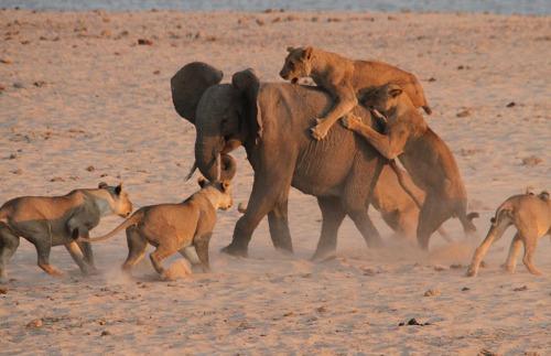 非洲大象独战14只饥饿猛狮3分钟幸运逃生(图)